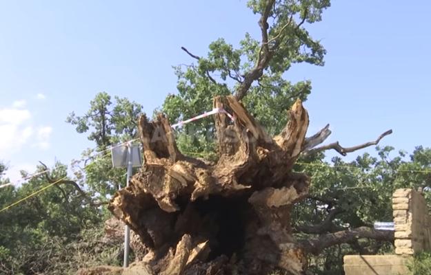 Rrëzohet njëri nga lisat më të vjetër në Kosovë