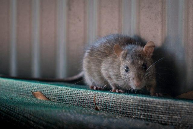 Zbulohet rasti i parë i infeksionit me hepatit nga miu te njeriu