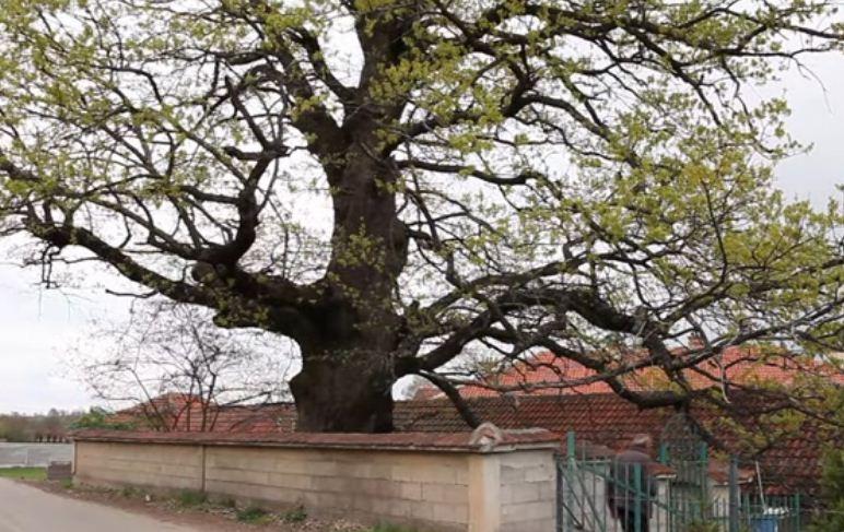 Druri i 'mallkuar' në Gjakovë, thuhet se kushdo që e prek e gjenë një e keqe!